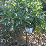 Mango tree on coffee trail