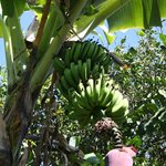 Banana tree on Coffee Trail