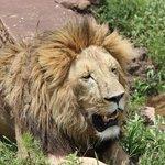 Ngorogoro lion