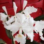 Orquidea premiada.