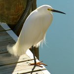 Egret - Visited every day
