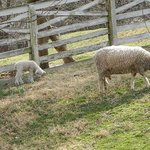 new baby sheep and ewes