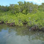Red Mangrove Forest