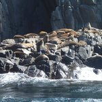 Colony of fur seals (males only territory)
