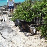 Lobos por toda a ilha