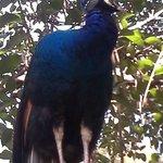 Pavo Real (Royal Turkey=Peacock)