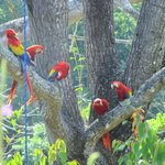 A visit to the Scarlet Macaw Project, Punta Islita