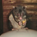 The Mouses House possum.