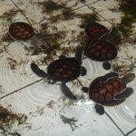 baby turtles kept in tiled enclosures
