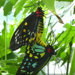 Cairns Birdwing Butterflies painting