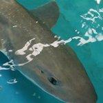 White Spotted Shark