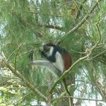 the red colobus monkey