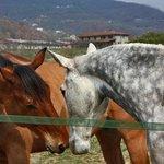 I cavalli del branco