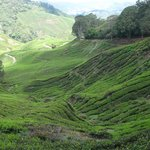 Tea plantage on the way down