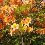 Azalea's & Rhododendrons
