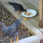 our friends the chicken