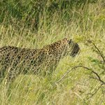 Leopard in the long grass
