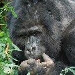 Den ældste han i Bitukura gruppen i Bwindi.