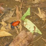 Poisonous red frog