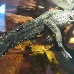 крокодилыч