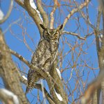 Resident Great Horned Owl, nesting on the near the pond