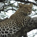 A cat of Ndutu Lodge