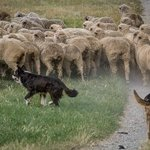 Sheep & dogs