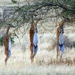 Three Gerenuk (giraffe-necked antelopes)