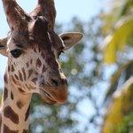 One of the giraffes
