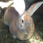 See our Flemish Giant Rabbits