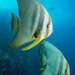 Sub-adult Teira Batfish