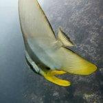 A young Teira Batfish