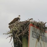 bird's nest (osprey?)