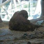 Virginia Zoological Park - Orangutan
