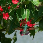 Hummingbird, Rex grounds