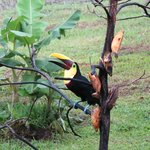 Toucan comes to restaurant during breakfast