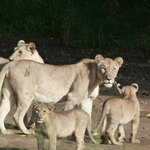 lioness and cubs taking a stroll along river bed