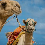 Camels on the beach in front of Four Twenty South