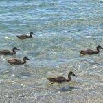 Patos nadando no lago cristalino de Wanaka