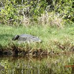 Sunning gator who launched into the water