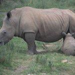 Baby Rhino suckling.