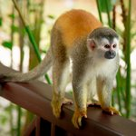 Squirrel Monkey arrived for breakfast