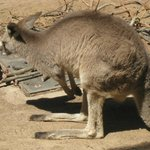 Kangaroos had their own spot not inside the Safari, as did many other animals