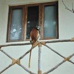 A curious red-colob