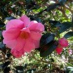 Camellia's everywhere