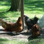 Serenity Springs Hens and Roosters