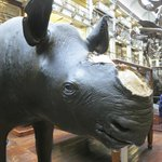 A Rhino missing a notable part