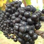 Grapes at last harvest October 2013.