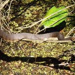 adult water moccasin