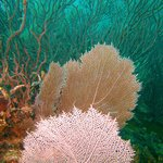 Fan Coral on the Benwood Wreck